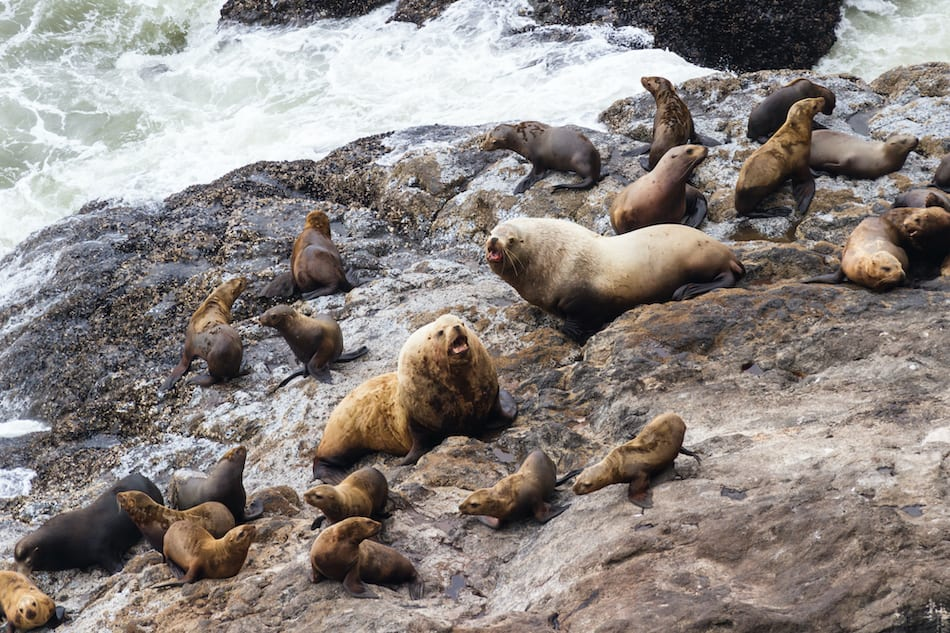 picture of the Sea Lions in Oregon
