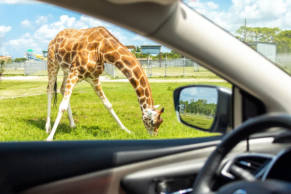 picture of View from a car on Giraffe in drive through safari zoo