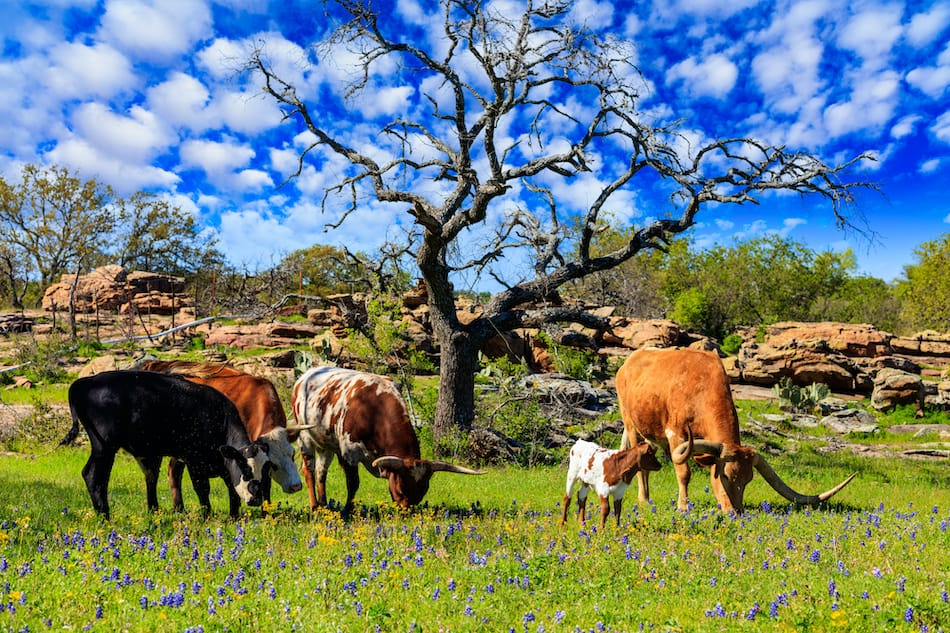 picture of Cattle grazing in a bluebonnet field on a ranch in the Texas Hill Country.