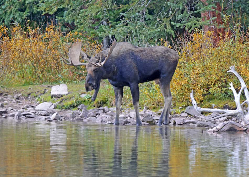 picture of a moose drinking water on moosehead lake maine